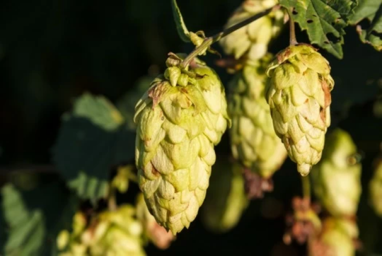 Hop To It! What are Hops?